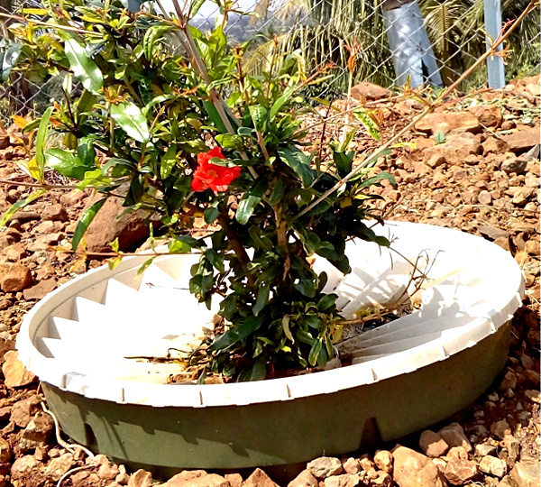 A 5-month old pomegranate tree flowers inside a Groasis Waterboxx. Notice the rocky soil around the Waterboxx.