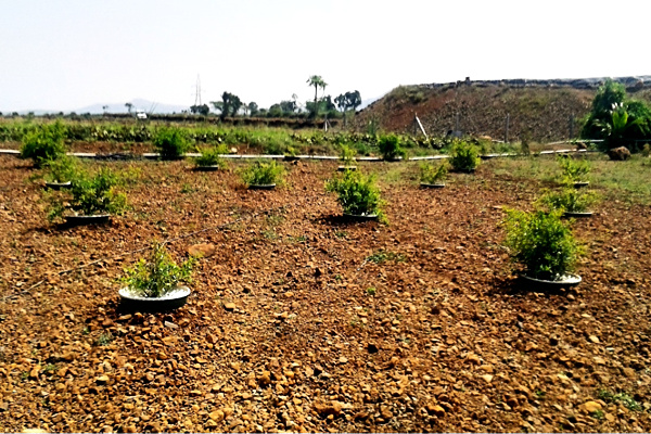 These pomegranate trees were planted 5 months ago in Groasis Waterboxxes.